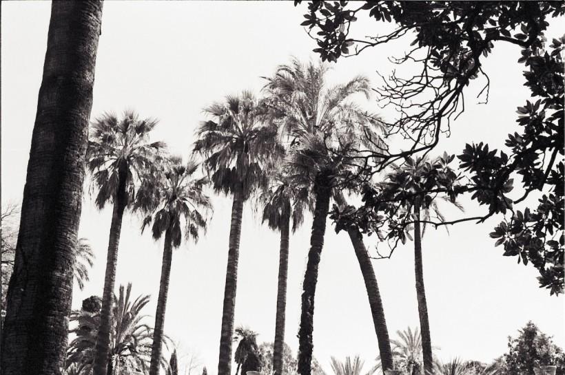 Palmiers Séville