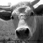 """""""La vache qui sourit"""", Bouloire, 1975"""