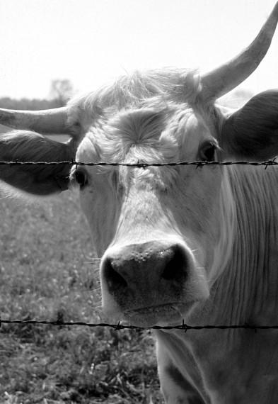 La vache qui sourit